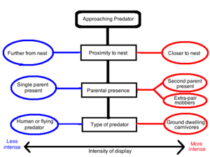 Distraction display - Factors influencing the decision to display when a predator approaches. Circles on the left represent circumstances that lead to lower intensity distraction displays, while circles on the right represent circumstances that lead to higher intensity distraction displays. Different combinations of these circles result in a spectrum of intensity of distraction displays.