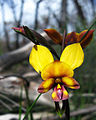 Diuris magnifica - Flickr 002.jpg