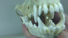 File:Dog Carnassial Teeth Video.webm