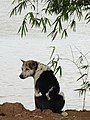Dog at Riverside - Mekong River - Kampong Cham - Cambodia (48328951942).jpg