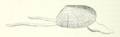 Donax trunculus Figuier 1872 Ocean World p.320 fig.127.png