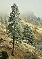 Donner Pine - panoramio.jpg