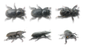 Dorcus parallelipipedus 6views.png