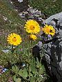 Doronic à grandes fleurs en Vanoise.JPG