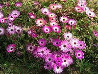 Dorotheanthus bellidiformis subsp. bellidiformis