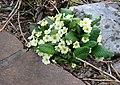 Draga Sant'Elia,un segnale di Primavera - panoramio.jpg
