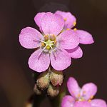 Drosera tokaiensis (flower and bud).jpg