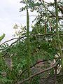 Drumstick tree (537119926).jpg