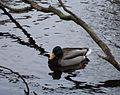 Duck 9390.JPG