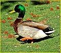 Duck Marching 4-5-14 (13723561515).jpg