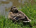 Duck taking a rest - geograph.org.uk - 1338860.jpg