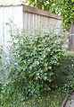Duftrose rosa (18591353050).jpg
