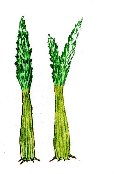 File:Duisbergia mirabilis.jpg