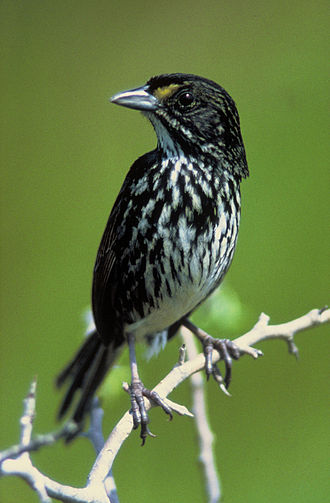 Bird conservation - The extinction of the dusky seaside sparrow was caused by habitat loss.