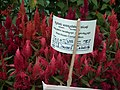 Dwarf Celosia from Lalbagh flower show Aug 2013 8077.JPG