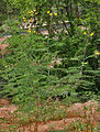 Dwarf Poinciana (Caesalpinia pulcherrima)- var flava at Hyderabad, AP W 233.jpg