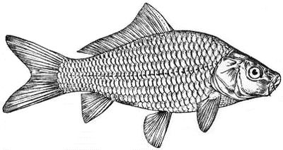 EB1911 - The Common Carp.jpg