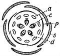 EB1911 Flower - diagram of Sedum flower.jpg
