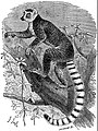 EB1911 Primates - The Ring-tailed Lemur.jpg