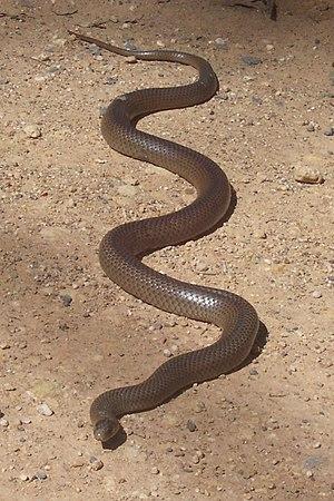Epidemiology of snakebites - Image: Eastern Brown Snake Kempsey NSW