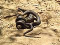 Eastern Brown Snake eating an Eastern Blue tongue. (8235988337).jpg