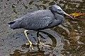 Eastern Reef Egret Humpbybong Creek (6114101712).jpg