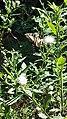 Eastern Tiger Swallowtail butterfly Eno River Hillsborough NC 103235 (30643776740).jpg