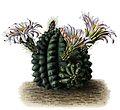 Echinocereus pulchellus BlKakteenT33.jpg