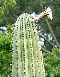 Echinopsis terscheckii 4