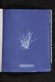 Ectocarpus granulosus (NYPL b11861683-419728).tiff