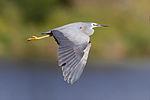 Egretta novaehollandiae in flight - Gould's Lagoon.jpg