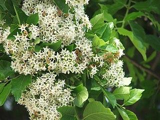 <i>Ehretia anacua</i> species of plant