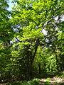 Eiche am Brüler Berg (Hoch-Weisel) 01.JPG