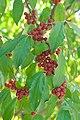Elaeagnus umbellata fruit.jpg