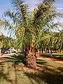 Elaeis guineensis unicamp 02.jpg