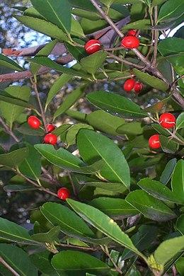 Elaeodendron australe var australe near Milton