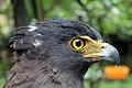 Elang-ular bido Spilornis cheela Bandung Zoo 1.jpg
