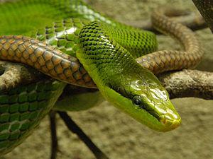 Rat snake - Red-tailed green rat snake, Gonyosoma oxycephalum