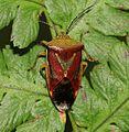 Elasmostethus intersinctus (Birch shieldbug) - Flickr - S. Rae (1).jpg