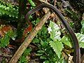 Elegant Bronzeback (Dendrelaphis formosus) (8416288335).jpg