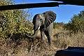Elephant, Ruaha National Park (16) (28443080400).jpg