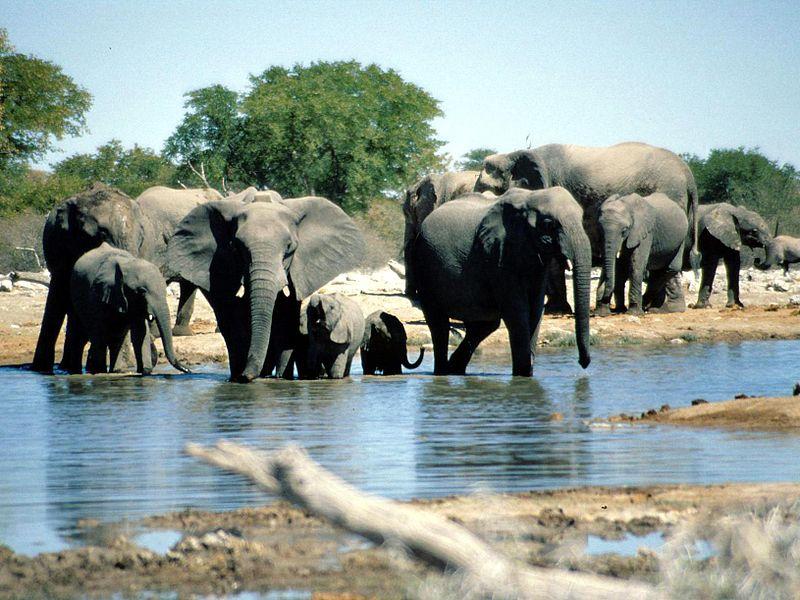 Datei:Elephants Etosha Namibia(1).jpg