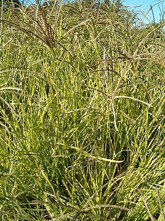 Goosegrass - Image: Eleusine indica Habitus Bot Gard Bln 0906