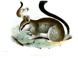 Asian garden dormouse species of mammal