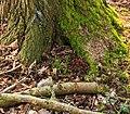 Elzenpropjes aan voet van els (Alnus) Locatie, Natuurterrein De Famberhorst 02.jpg