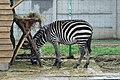Em - Equus quagga - 2.jpg