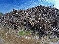 Empilement de souches de pins après désouchage d'une coupe rase 2018 Landes de Gascogne 01.jpg