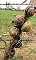 Empty snail shells - Flickr - reingestalter.jpg