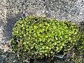Encalypta streptocarpa 93561824.jpg