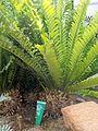 Encephalartos ferox en los invernaderos centrales del Jardín Botánico de Córdoba.jpg